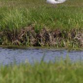 Pelikan różowy, White Pelican, Pelecanus onocrotalus, Jędrzejów, ŚWTK,  25.042017 (4) (Polska, Poland)