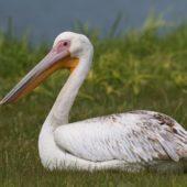 Pelikan różowy, White Pelican, Pelecanus onocrotalus, Jędrzejów, ŚWTK,  25.042017 (1) (Polska, Poland)