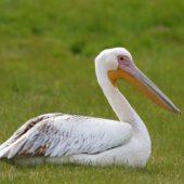 Pelikan różowy, White Pelican, Pelecanus onocrotalus, Jędrzejów, ŚWTK,  25.042017 (2) (Polska, Poland)