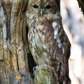 Puszczyk, Tawny Owl, Strix aluco, gm. Bobrowniki, SLK, 02.08.2017 (1) (Polska, Poland)