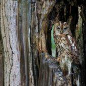Puszczyk, Tawny Owl, Strix aluco, gm. Bobrowniki, SLK, 10.06.2017 (1) (Polska, Poland)