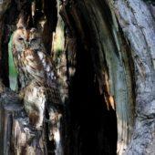 Puszczyk, Tawny Owl, Strix aluco, gm. Bobrowniki, SLK, 10.06.2017 (2) (Polska, Poland)