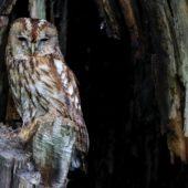 Puszczyk, Tawny Owl, Strix aluco, gm. Bobrowniki, SLK, 10.06.2017 (3) (Polska, Poland)