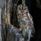 Puszczyk, Tawny Owl, Strix aluco, gm. Bobrowniki, SLK, 10.06.2017 (5) (Polska, Poland)