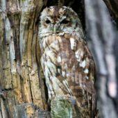 Puszczyk, Tawny Owl, Strix aluco, gm. Bobrowniki, SLK, 15.07.2017 (1) (Polska, Poland)