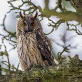 Uszatka, Long-eared Owl, Asio otus, gm. Siewierz, SLK, 21.01.2017 (1) (Polska, Poland)