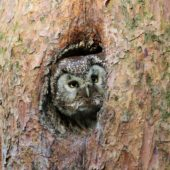Włochatka, Boreal Owl (Tengmalm's Owl), Aegolius funereus, Lasy Lublinieckie, SLK, 16.05.2017 (2) (Polska, Poland, Lublinieckie Forest)