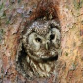 Włochatka, Boreal Owl (Tengmalm's Owl), Aegolius funereus, Lasy Lublinieckie, SLK, 16.05.2017 (3) (Polska, Poland, Lublinieckie Forest)