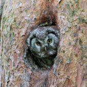 Włochatka, Boreal Owl (Tengmalm's Owl), Aegolius funereus, Lasy Lublinieckie, SLK, 16.05.2017 (4) (Polska, Poland, Lublinieckie Forest)