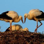 Bocian biały, White Stork, Ciconia ciconia, Gołuchowice, SLK, 21.07.2017 (2) (Polska, Poland)