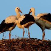 Bocian biały, White Stork, Ciconia ciconia, Gołuchowice, SLK, 21.07.2017 (1) (Polska, Poland)
