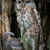 Puszczyk, Tawny Owl, Strix aluco, gm. Bobrowniki, SLK, 13.07.2017 (Polska, Poland)