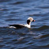 Lodówka, Long-tailed Duck, Clangula hyemalis, Gdańsk, POM, 02.03.2018 (1) (Polska, Poland)