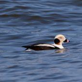 Lodówka, Long-tailed Duck, Clangula hyemalis, Gdańsk, POM, 02.03.2018 (2) (Polska, Poland)