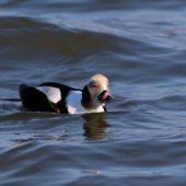 Lodówka, Long-tailed Duck, Clangula hyemalis, Gdańsk, POM, 02.03.2018 (3) (Polska, Poland)