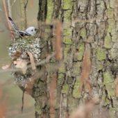 Raniuszek, Long-tailed Tit, Aegithalos caudatus, Kąty Wrocławskie, DLN, 20.03.2018 (2) (Polska, Poland)
