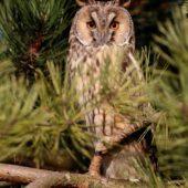 Uszatka, Long-eared Owl, Asio otus, gm. Siewierz, SLK, 03.01.2018 (1) (Polska, Poland)