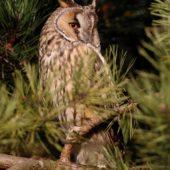 Uszatka, Long-eared Owl, Asio otus, gm. Siewierz, SLK, 03.01.2018 (2) (Polska, Poland)