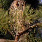 Uszatka, Long-eared Owl, Asio otus, gm. Siewierz, SLK, 03.01.2018 (3) (Polska, Poland)
