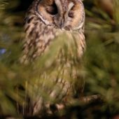 Uszatka, Long-eared Owl, Asio otus, gm. Siewierz, SLK, 03.01.2018 (4) (Polska, Poland)