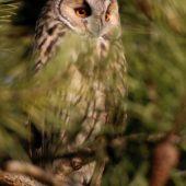 Uszatka, Long-eared Owl, Asio otus, gm. Siewierz, SLK, 03.01.2018 (6) (Polska, Poland)