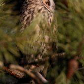 Uszatka, Long-eared Owl, Asio otus, gm. Siewierz, SLK, 03.01.2018 (7) (Polska, Poland)