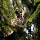 Uszatka, Long-eared Owl, Asio otus, gm. Siewierz, SLK, 07.03.2018 (2) (Polska, Poland)