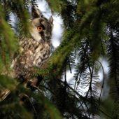 Uszatka, Long-eared Owl, Asio otus, gm. Siewierz, SLK, 07.03.2018 (1) (Polska, Poland)