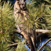 Uszatka, Long-eared Owl, Asio otus, gm. Siewierz, SLK, 04.03.2018 (2) (Polska, Poland)