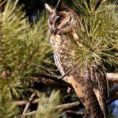Uszatka, Long-eared Owl, Asio otus, gm. Siewierz, SLK, 04.03.2018 (3) (Polska, Poland)
