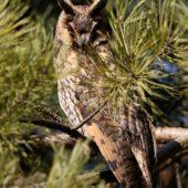 Uszatka, Long-eared Owl, Asio otus, gm. Siewierz, SLK, 04.03.2018 (1) (Polska, Poland)