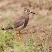 Czajka stepowa, White-tailed Lapwing, Vanellus leucurus, Kuwejt, 14.04.2018 (Kuwait)