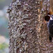 Dzięcioł trójpalczasty, Three-toed Woodpecker, Picoides tridactylus, Rysianka, Beskid Żywiecki, SLK, 19.09.2018 (1) (Polska, Poland)