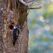 Dzięcioł trójpalczasty, Three-toed Woodpecker, Picoides tridactylus, Rysianka, Beskid Żywiecki, SLK, 19.09.2018 (2) (Polska, Poland)
