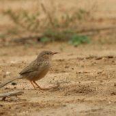 Dżunglotymal indyjski, Common Babbler, Turdoides caudatus, Kuwejt, 10.04.2018 (1) (Kuwait)