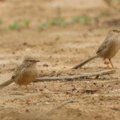 Dżunglotymal indyjski, Common Babbler, Turdoides caudatus, Kuwejt, 10.04.2018 (2) (Kuwait)