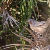 Dżunglotymal indyjski, Common Babbler, Turdoides caudatus, Kuwejt, 14.04.2018 (2) (Kuwait)