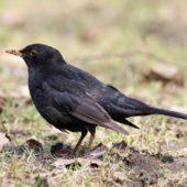 Kos, Blackbird, Turdus merula, Dąbrowa Górnicza, SLK, 02.04.2018 (Polska, Poland)