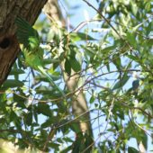 Aleksandretta obrożna, Ring-necked Parakeet, Psittacula krameri, Nysa, OPO, 13.05.2018 (10) (Polska, Poland)