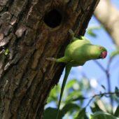 Aleksandretta obrożna, Ring-necked Parakeet, Psittacula krameri, Nysa, OPO, 13.05.2018 (12) (Polska, Poland)
