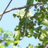 Aleksandretta obrożna, Ring-necked Parakeet, Psittacula krameri, Nysa, OPO, 13.05.2018 (6) (Polska, Poland)