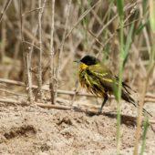 Pliszka żółta czarnogłowa, Yellow (Black-headed) Wagtail, Motacilla flava feldegg, Kuwejt, 08.04.2018 (Kuwait)
