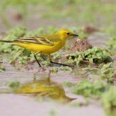 Pliszka żółta żółtogłowa, Yellow (Yellow-headed) Wagtail, Motacilla flava lutea, Kuwejt, 08.04.2018 (2) (Kuwait)