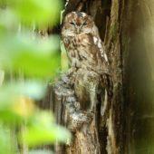 Puszczyk, Tawny Owl, Strix aluco, gm. Bobrowniki, SLK, 08.08.2018 (1) (Polska, Poland)