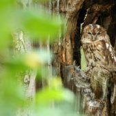 Puszczyk, Tawny Owl, Strix aluco, gm. Bobrowniki, SLK, 08.08.2018 (2) (Polska, Poland)