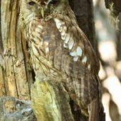 Puszczyk, Tawny Owl, Strix aluco, gm. Bobrowniki, SLK, 20.07.2018 (3) (Polska, Poland)