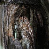 Puszczyk, Tawny Owl, Strix aluco, gm. Bobrowniki, SLK, 24.06.2018 (2) (Polska, Poland)