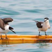 Rybitwa brunatnogrzbieta, Bridled Tern, Onychoprion anaethetus, Kuwejt, 09.04.2018 (1) (Kuwait)