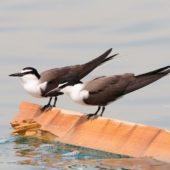 Rybitwa brunatnogrzbieta, Bridled Tern, Onychoprion anaethetus, Kuwejt, 09.04.2018 (3) (Kuwait)