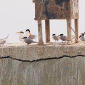 Rybitwa bengalska, Lesser Crested Tern, Thalasseus bengalensis & rybitwa arabska, White Cheeked Tern, Sterna repressa, Kuwejt, 09.04.2018 (Kuwait)